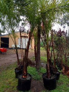 Arboles palmeras pindo 20 litros