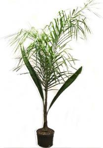 Arboles palmeras pindo 4 litros