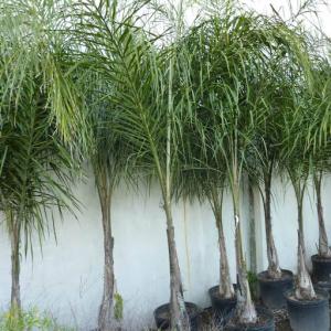 Arboles palmeras pindo 50 litros o cepellón