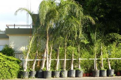 Arboles palmeras pindo de 100 litros