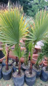 Arboles palmeras washintognia 10